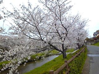 asakuragawa1.jpg