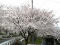 kawarachousakura.jpg