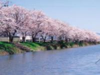 nakaegawa_sakura.jpg
