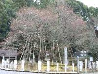 seigansakura2.jpg