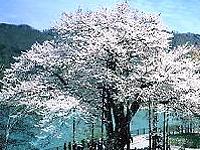 shoukawasakura.jpg